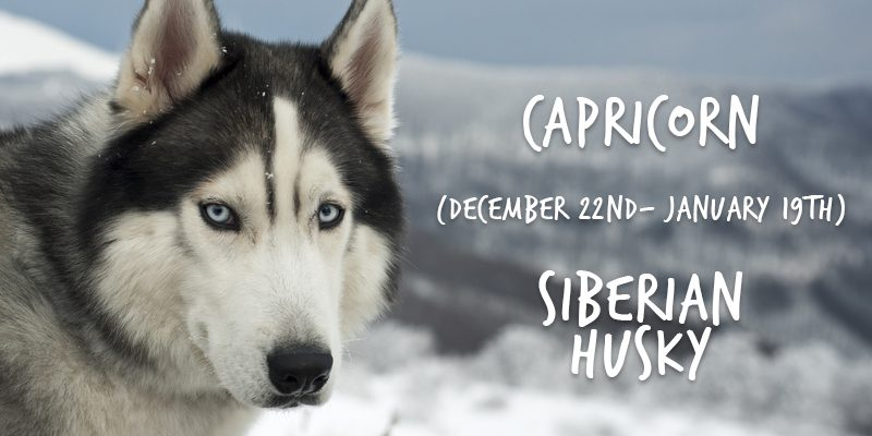 capricorn husky