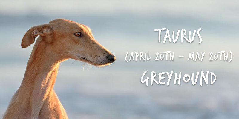 taurus greyhound