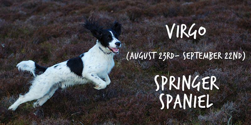 virgo springer